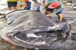 Oct 2012 – Megamouth Shark caught off Taiwan