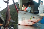 Another Great White Shark caught off Taiwan