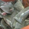 2 La. men admit illegally fishing for shark fins