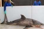 10 foot Great white shark caught in South African Shark Control Program
