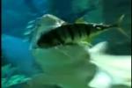 Hungry Sandtiger Shark eats Aquarium Inmate