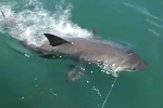 Small Great white shark tagged and released in New Zealand