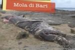 Dead Basking Shark in Italy – January 2013