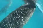 Whale shark eco-tourism spawns conservation headache in Philippines