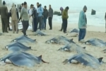 Giant rays on Gaza beach