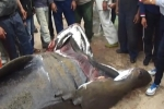 Algerian fishermen land 5,6 m basking shark