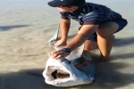 Juvenile Great White Shark Caught and Released in South Africa