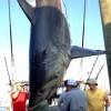 Oak Bluffs Monster Shark Tournament 2013