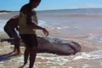 Large Shark landed on beach in Brazil