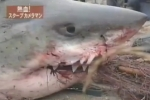 Great White Shark caught in Japan in 1999