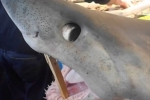 Porbeagle shark at market in France