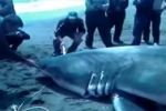 Video of great white shark in Russia
