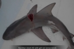 Sandbar sharks with severe injuries caused by commercial gill-nets