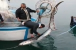 Italy: Thresher Shark caught in Gulf of Naples