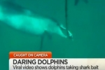 SunriseOn7: Dolphins seen stealing shark bait