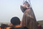Large Sixgill Shark caught in Algeria