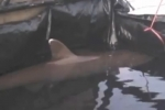 Bali: Rescued pregnant shark gives birth to 3 pups