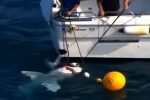 7News: White shark caught and killed by Queensland Fisheries