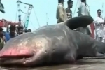 Whale shark dragged onto Karachi harbour