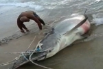 Brazil: Fishermen land 13 ft hammerhead shark