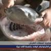 Several Sixgill Sharks Caught in Lebanon