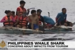 Philippines tourism puts whale sharks at risk