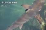 Rescued Bali Shark Release