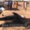 Three whale sharks caught in Ampara, Sri Lanka