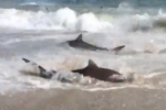 Video: Shark feeding frenzy at Cape Lookout NC