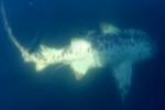 NBC2 News: Albino nurse shark caught on cam off Captiva Pass