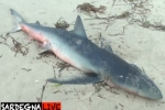 Blue shark found beached in Sardinia