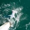 Video: 700 lbs Mako shark reeled in off Navarre Beach Fishing Pier, Florida