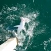 Video: 700 lbs Mako shark reeled in off Navarre Beach Fishing Pier, Florida