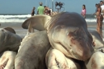 Subrayado News: Mass Capture of 60 Sandtiger Sharks in Uruguay