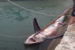 Thresher Shark caught in Mallorca, Spain