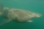 Basking shark filmed off Cervia, Italy
