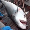 Third large tiger shark killed in Réunion Island within a week