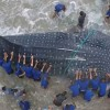 30 ft Whale shark dies after washing up in Ecuador