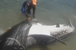 Whale shark released in northern Colombia
