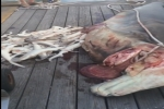 Pregnant great hammerhead shark apparently landed in Destin