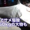 Japan: 4 metres long Tiger shark caught during Yaeyama Shark Cull