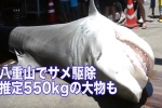 Japan: 4 metres long Tiger shark caught during Yaeyama Shark Cull