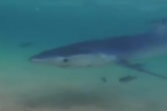 Distressed blue shark approaches beach in Sardinia, Italy