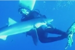 Video: Blue shark bites diver in Azores 2013