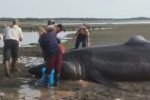 Video: People rush to save stranded basking shark in Maine
