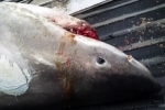 Dead great white shark washes up in Wrightsville Beach, North Carolina