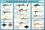 FAO Poster: Barbados Sharks and Rays