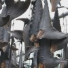 SankeiNews: Shark Fin Processing in Kesennuma, Japan