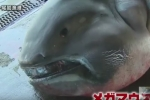 Megamouth shark landed in Owase, Japan