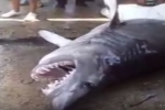 Video: Large Longfin Mako (Isurus paucus) caught in Cuba
